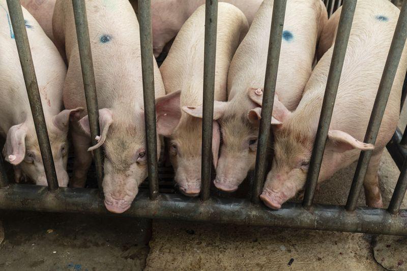 Китайцы создали вакцину от чумы свиней