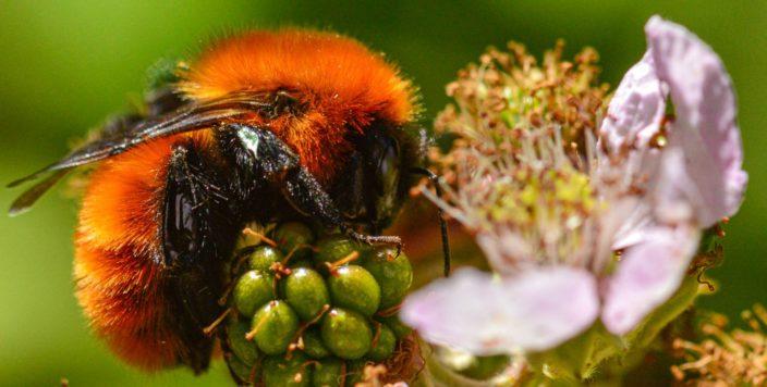 Пчел стало меньше. Число видов сократилось на четверть